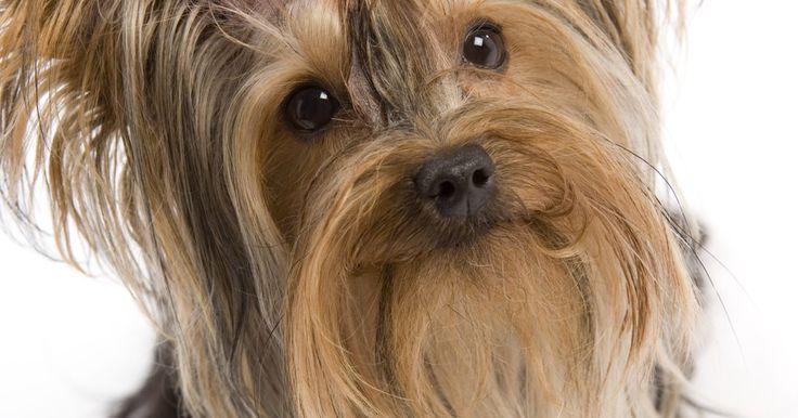 """Cómo cuidar yorkshire terriers recién nacidos. Los Yorkshire Terriers o """"Yorkies"""" fueron conocidos al comienzo como mascotas de familias trabajadoras hasta la era victoriana, cuando la raza se convirtió en favorita entre la realeza. Como todos los cachorros recién nacidos, los Yorkshire Terriers necesitan ser nutridos cuidadosamente durante las tres primeras semanas de su vida. Este periodo es ..."""