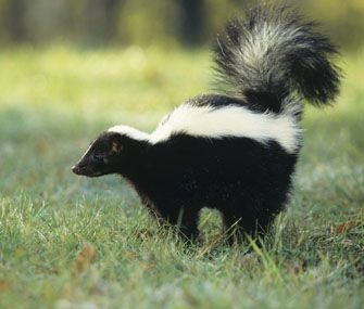 The Stinkiest, Smelliest Animals in The World - What are the smelliest animals that you know? Well, most of the smelly animals use their foul smell as the defense mechanism.
