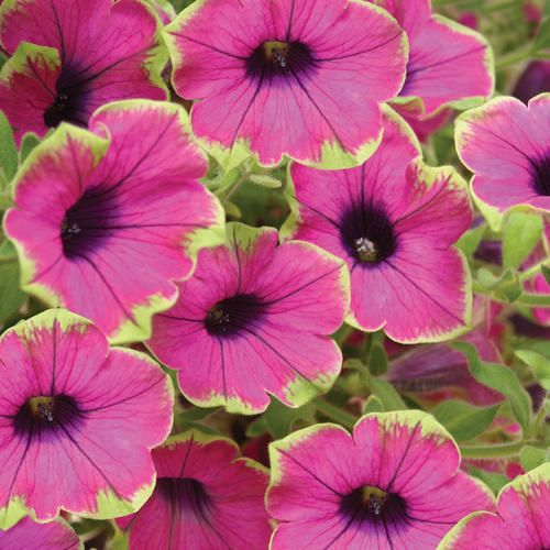 Actually in my sister-in-law's garden: Proven Winners | Supertunia® Pretty Much Picasso® - Petunia hybrid  Especially attractive where it will be seen up close like containers and baskets on a porch or deck.