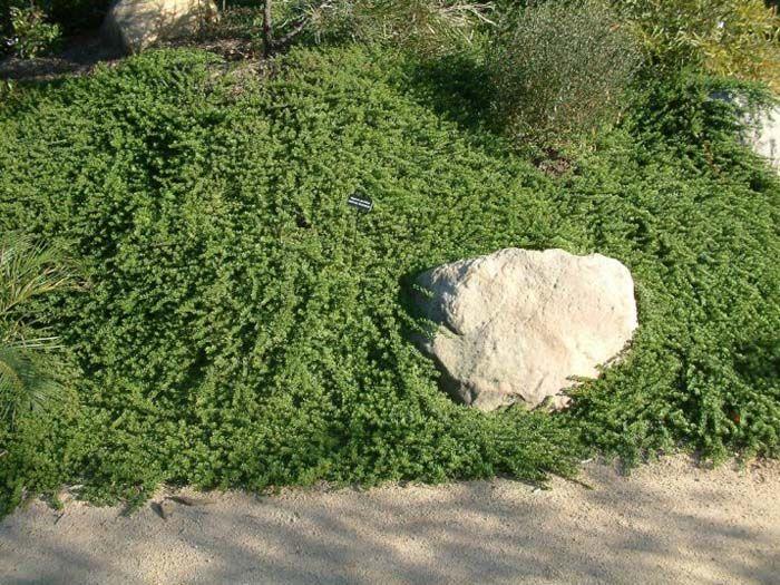 Plant photo of: Myoporum parvifolium