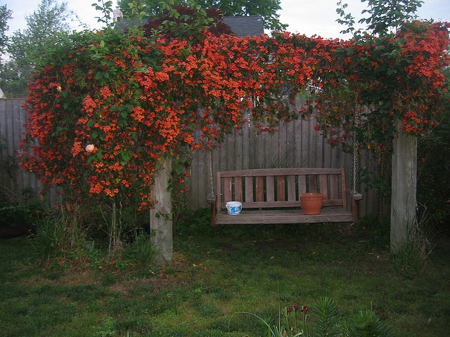 Trumpet Vine (Campsis radicans, trumpet creeper, cow itch vine, hummingbird vine) growing on a wood swing