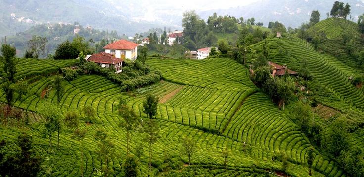 Tea gardens, Rize Turkey
