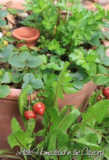 Ollas- Self watering pots