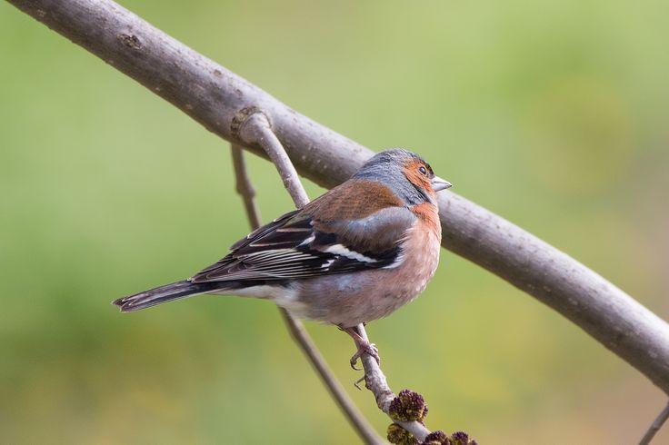 Male Chaffinch / Fringilla coelebs / αρσενικός σπίνος - Macedonia northern Greece