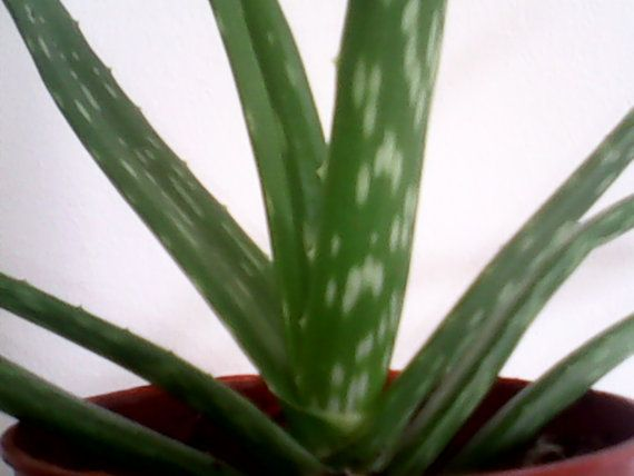 Les 25 meilleures id es de la cat gorie plante interieur - Entretien aloe vera interieur ...