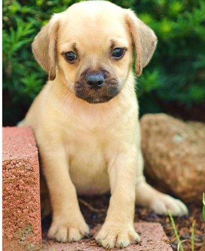 Pug & Beagle Puggle~ this is a lighter version of our baby.