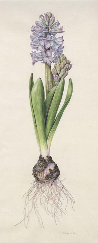 Denise Walser-Kolar Hyacinth Hyacinthus orientalis watercolor on vellum 17 x 7 inches