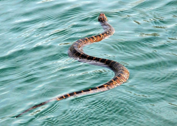 Water moccasin snake spiders snakes pinterest more for Water lizard fish