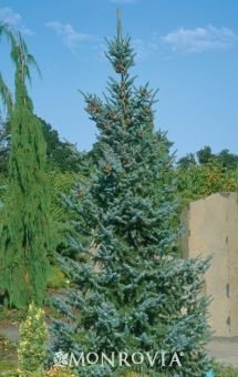 Bruns Serbian Spruce (Picea omorika 'Bruns') - Monrovia - Bruns Serbian Spruce (Picea omorika 'Bruns') narrow, 8-10 ft wide, partial to full sun, low water needs after established