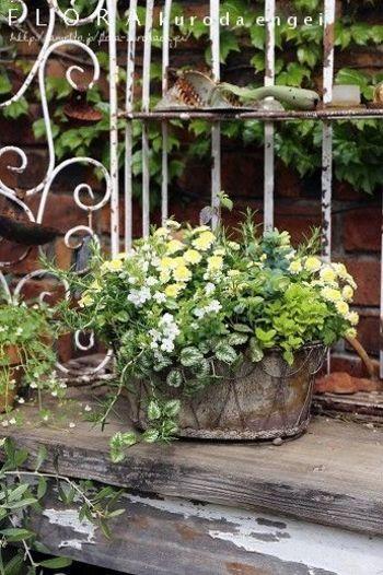 たくさんのグリーンと、それを引き立てる控え目な花々とで全体的にやさしい印象の寄せ植えです。