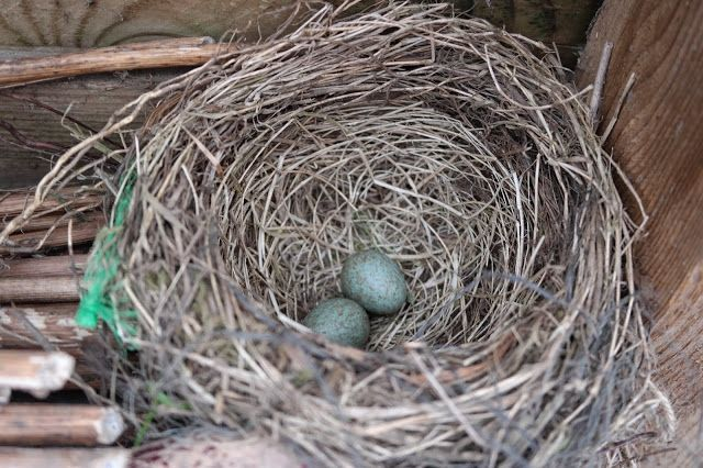 HAVEHJERNEN Eggs and nest of Blackbird