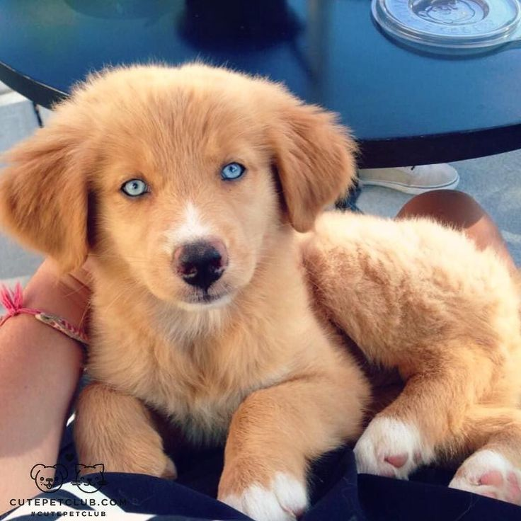 From @Kona_and_Nala: Nala is an Australian shepherd husky golden retriever mix. She loves chasing tennis balls and diving into swimming pools! #cutepetclub [source: http://ift.tt/1ZKIxIU ]