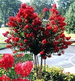 Dynamite Red Crape Myrtle (3-4 feet tall in full gallon containers) Flashy red summer blooms!