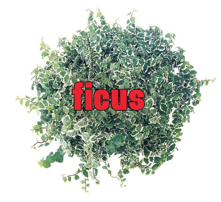 Ficus Cover