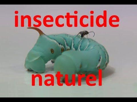 insecticide naturel et non toxique chimique jardinage pucerons parasites larves solution  #chimique #insecticide #jardinage