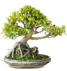 Bonsai Ficus Rp 7,250,000