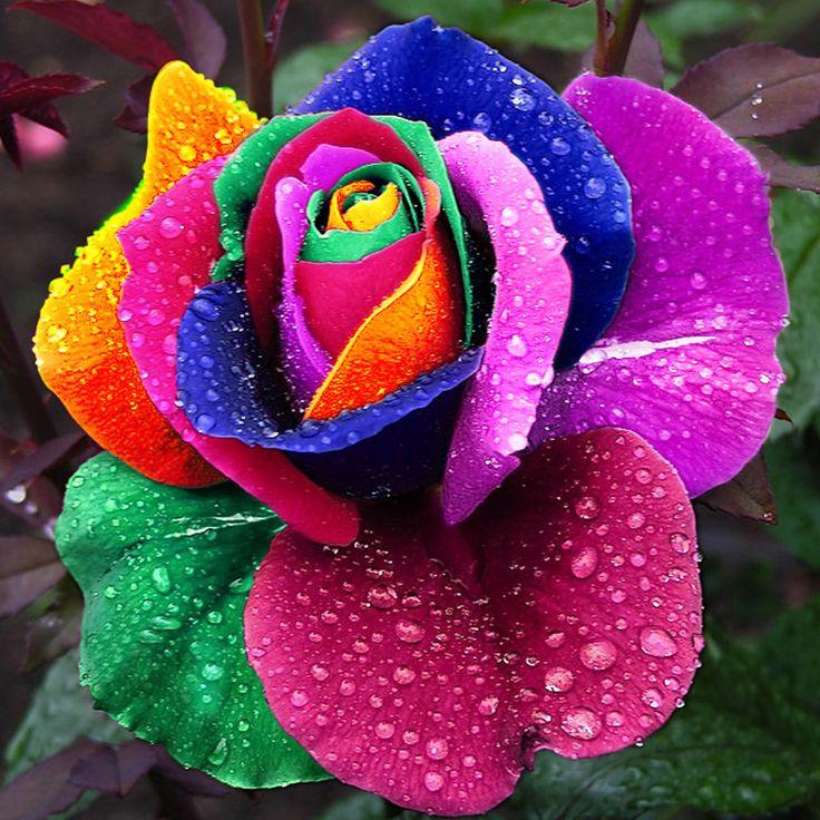 Seeds of Rare Holland Rainbow Rose //Price: $7.95 & FREE Shipping //    #lookbook #idea #picoftheday #art #designer