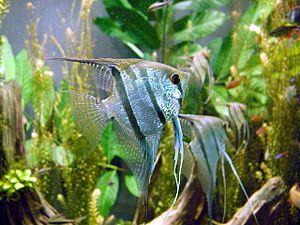 skalára amazonská - sladkovodní ryba a jedna z nejoblíbenějších akvarijních ryb