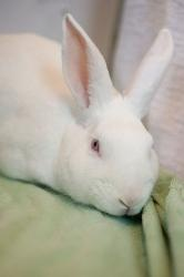 #OHIO ~ Snowball is an #adoptable Florida White Rabbit in #Columbus. Snowball is a great bunny who loves to be petted and can even be picked up.  He loves to go through his tunnel.  He loves green and we mean lots of green.  And don't forget his bedtime carrot.  Will you give this great guy a forever home ? OHIO HOUSE RABBIT RESCUE ph  614-263-8557