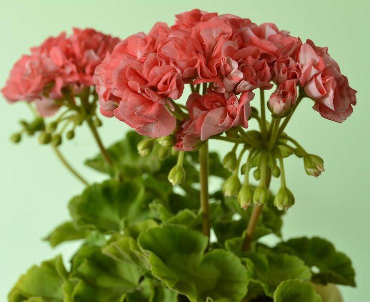 Shelk Moira карликовая розоцветковая пеларгония