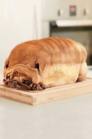 LOL! I thought this was a loaf of bread! : Animals, Dogs, Breads, Funny Stuff, Pug Loaf, Funnies, Pugs