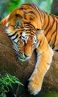 Belo tigre descansando...