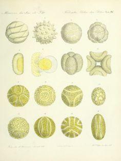 ernst haeckel pollen - Google Search