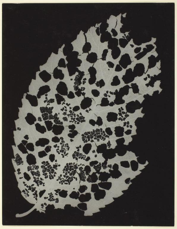 Man Ray / Dead Leaf / 1926 / Gelatin silver photogram