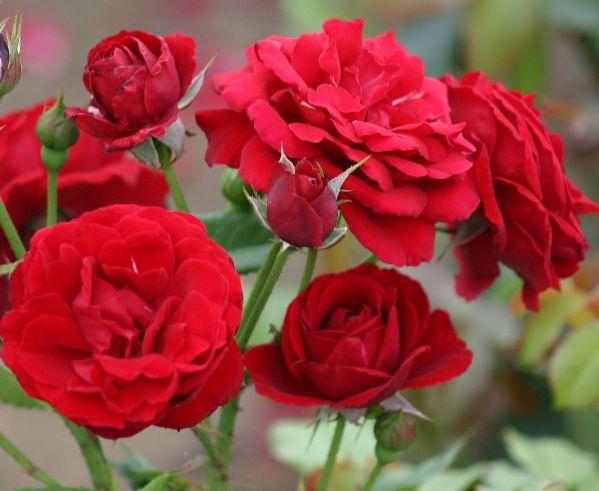 укоренить черенки роз +из букета, черенки роз +из букета укоренить +в домашних,+как укоренить черенки роз, выращивание роз +из черенков, размножение роз черенками +в домашних, размножение розы черенками +в домашних условиях, вырастить розу +из черенка +в домашних условиях, укоренение черенков роз, +как вырастить розу +из черенка +в домашних, +как посадить черенок розы +из букета, размножение роз черенками +из букета, +как посадить черенки роз +в домашних, +как посадить черенки роз +в…