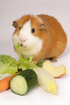Guinea Pig Food List