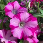 This definitely is a Proven Winner petunia Supertunia Rose Blast Charm petunia pinkflowers westerngardens hotpinkflowers