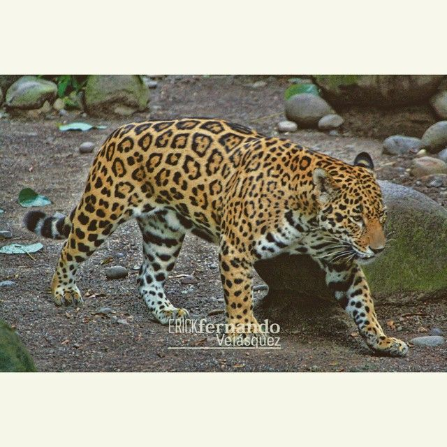 Jaguar Felis Onca: #jaguar #felino #guatemala #instalike #instagood