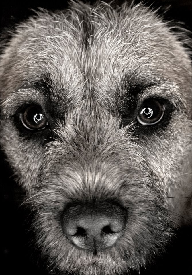 Ted The Border Terrier - Crazy Eyes
