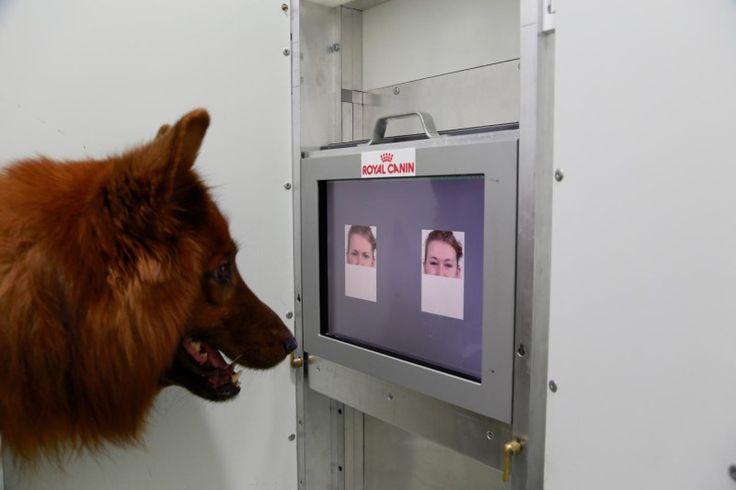 Par le biais de votre visage, les chiens peuvent savoir quand vous être heureux et quand vous êtes en colère, selon une étude récente effectuée par des vétérinaires à Vienne, en Autriche.Pour que les chiens puissent lire les expressions du visage ...
