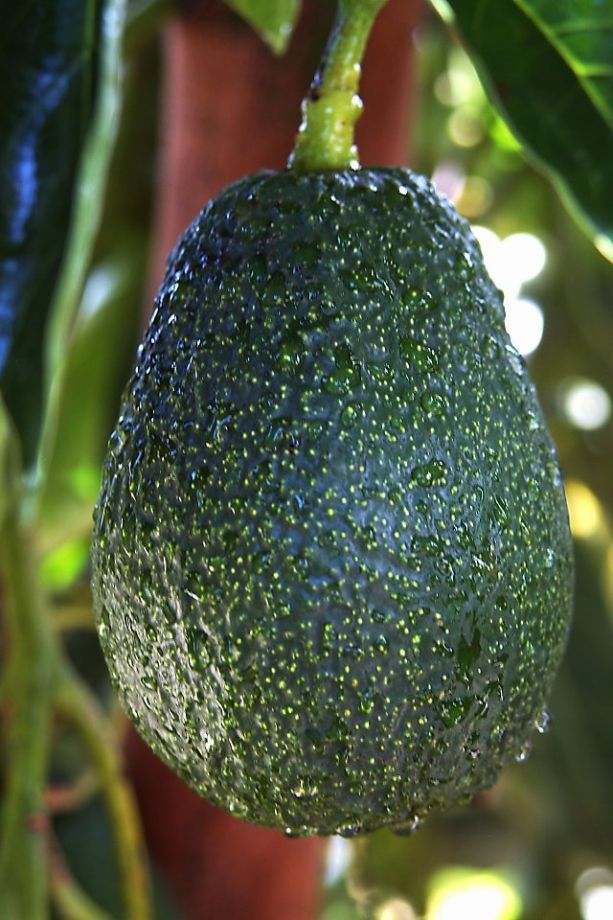 'Lamb Hass' avocado is a cross between the popular Hass and an earlier dwarf type named 'Gwen.' It bears good quality fruit on a small tree April-November. Photo: California Avocado Commission