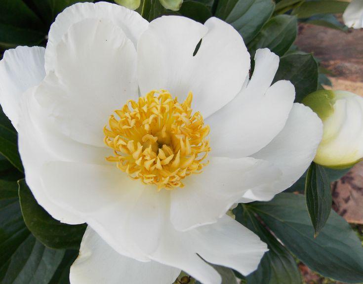 Paeonia jan van leeuwen single satinlywhite blossoms