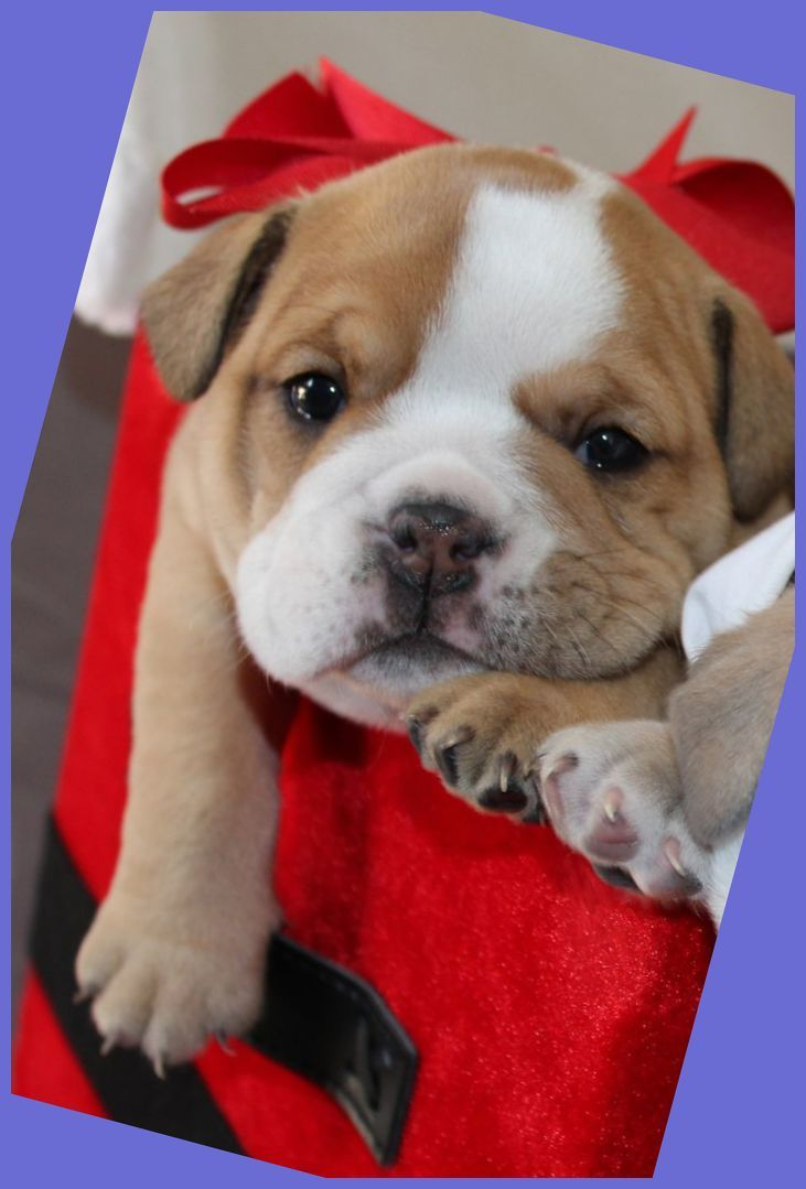 Cutest English Bulldog Puppy Perfect Gift Under The Tree This Year Fawn Female Cutest Eng Bulldog Puppies Bulldog English Bulldog Puppies