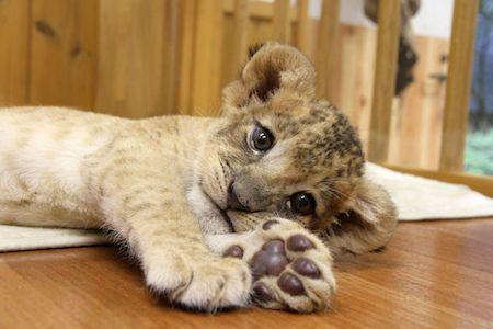 双子のライオンの赤ちゃんの寝顔を紹介 - 富士サファリパーク   マイナビニュース
