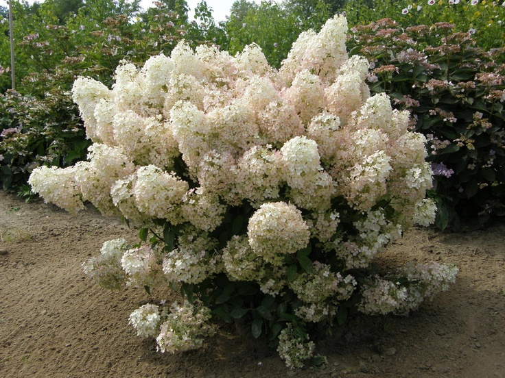This is one of Proven Winners® newest hydrangeas--we call him Bobo™. This dwarf hydrangea will only get 3 feet tall at maturity, making him a perfect addition to smaller landscapes. These large, white blooms last all summer and turn a bit pink in autumn.    http://emfl.us/kWEd