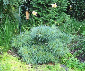 pinus strobus dwarf white pine blue shag great idea for plant to pick up some blue green