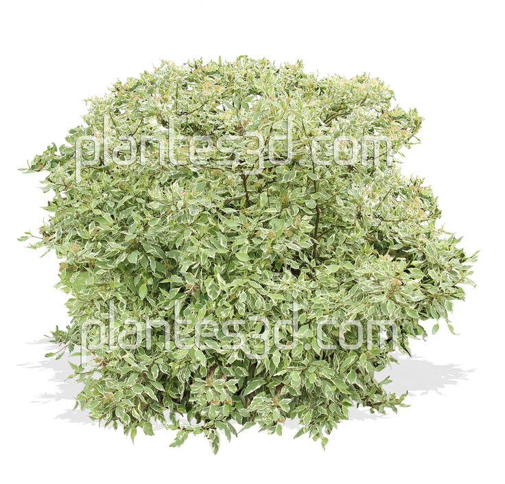 Cornus alba-Arbuste Cornouiller Png- Shrub Cornus cutout
