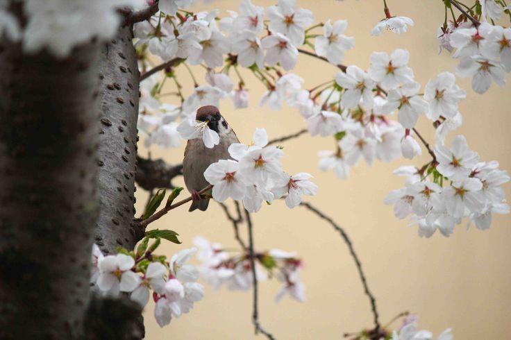 Oiseau mangeant des feurs de Sakura
