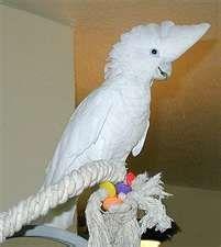 Ducorp's Cockatoos aka Ducorps Cockatoos aka Solomon Island Cockatoos