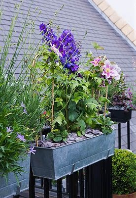 THE BALCONY GARDENER - ISABELLE PALMER - BALCONY WITH WINDOW BOX PLANTED WITH CLEMATIS AND DELPHINIUM. clivenichols.com