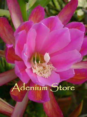 Epiphyllum Orchid Cactus Seed Germination & Growing Guide