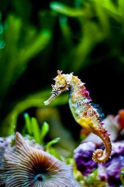 """MI AMOR""... I love looking at saltwater tanks and my favorite are the seahorses. They look so delicate."