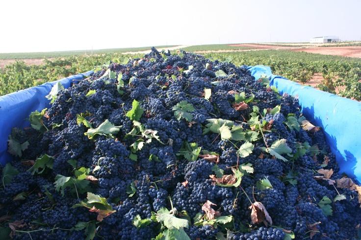 Tempranillo grapes taking a ride to the bodega in Extremadura