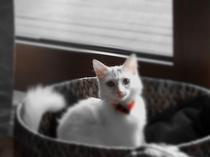 Türkische Katze Ankara-Katze – Turkish cat- Van cat