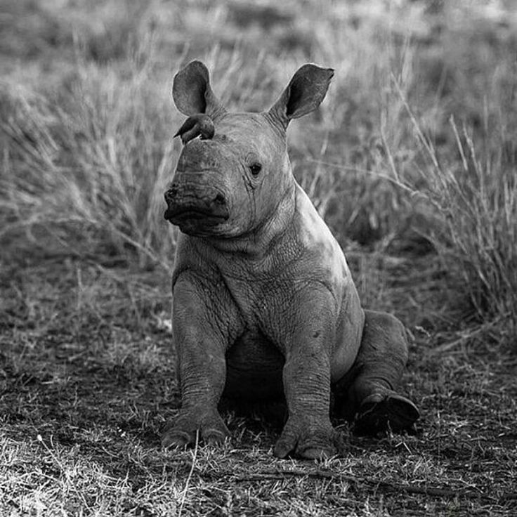 "579 Likes, 7 Comments - Shazir ""shizzy"" Haque (@shizzyswildcatrescue) on Instagram: ""Repost @wonderousnature ・・・ This will always be my favorite baby rhino photo I just cannot…"""