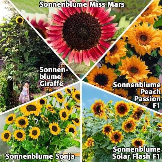 Sonnenblumensamen Sortiment Zwerge & Riesen | von Gärtner Pötschke